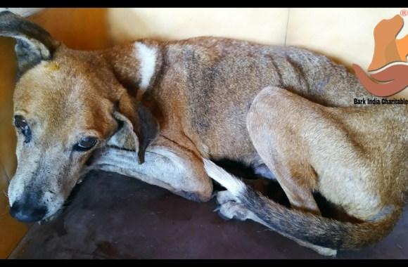 Anemic dog rescue- Stray dog rescue in Pondicherry