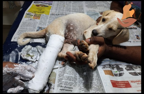 Leg fracture puppy rescue and treatment- Free veterinary care in Pondicherry