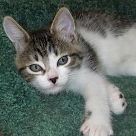 Mayan - female short-hair tabby kitten