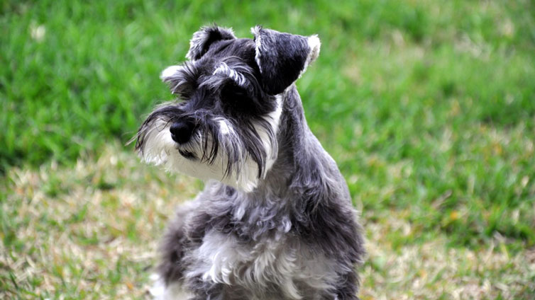 15 Dog Breeds That Dont Smell Barking Royalty