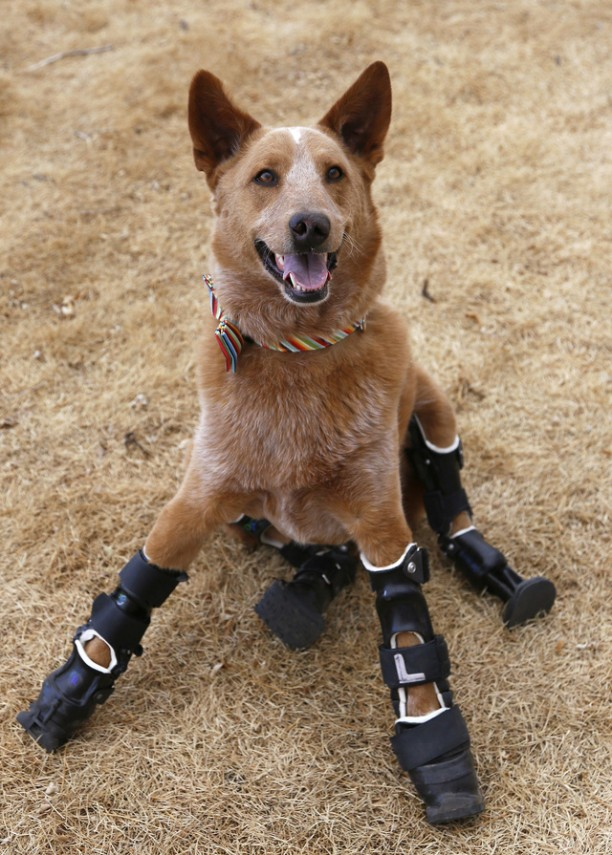 Naki'o, a dog with four prosthetic devices, poses for a photo in Colorado Springs