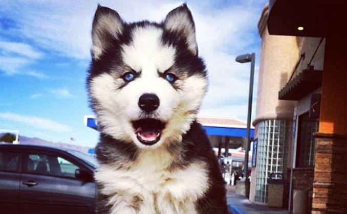 19 Of The Fluffiest Husky GIFS On The Internet - BarkPost