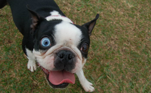 silly-boston-terrier-different-eyes-heterochromia-animals-different-eye-colors-7__700