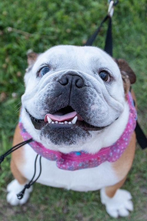 female names for bulldog that are girly!