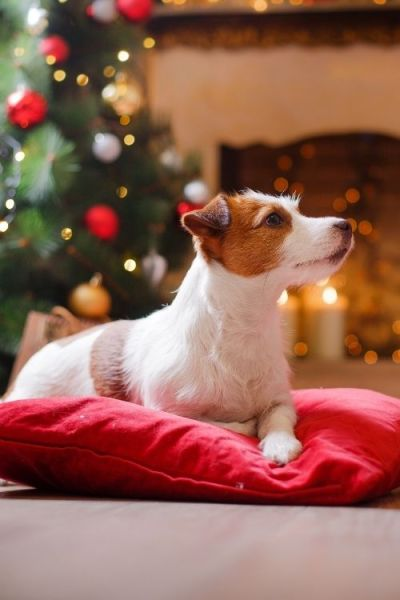 A dog waiting to hear what the new and fun Christmas traditions or holiday tradition will be!