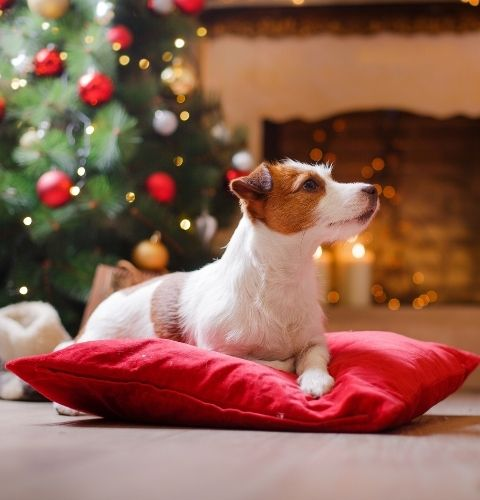 The dog wondering what the next holiday surprise is this December.