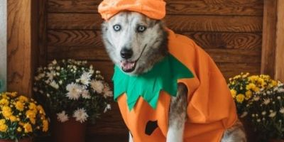 dressed up dog waiting for outing with pet owner for trick or treat.