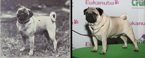 dog evolution, dog breeder, pug, pug companion dog, lap dog, dog advice, dog help, dog advice, dog enthusiasts, canine guide, evolution of canines, dog breeds history
