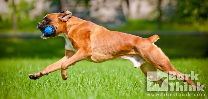 dog exercises, exercises for breed types, dog types mental exercises, physical exercises dog health, teach dog how to fetch, dog sports, boxer schutzhund, guard dog, best activities for dog breeds, dog training exercises