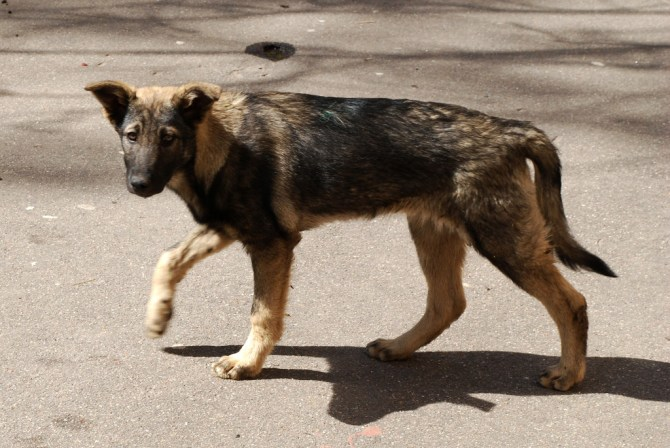 Moscow_stray_dog