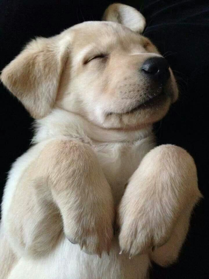 sleeping-lab