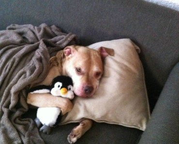 pitbull with his toy