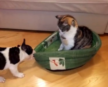 pixel the 10 week old French Bulldog vs the stubborn cat