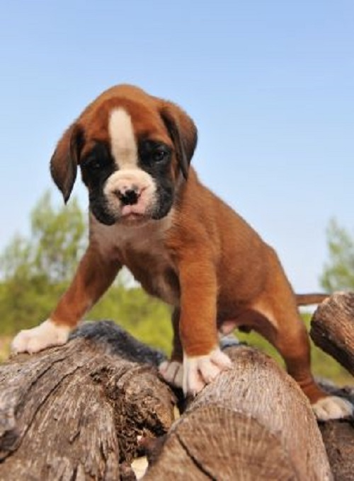 very young purebred puppy german boxer upright