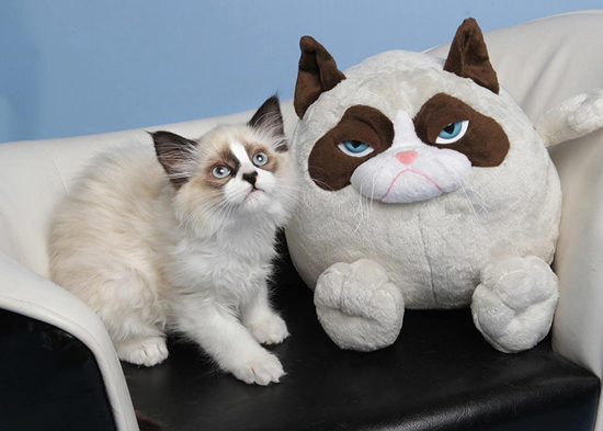 cat-looks-like-celebrities-grumpy-cat's-toy