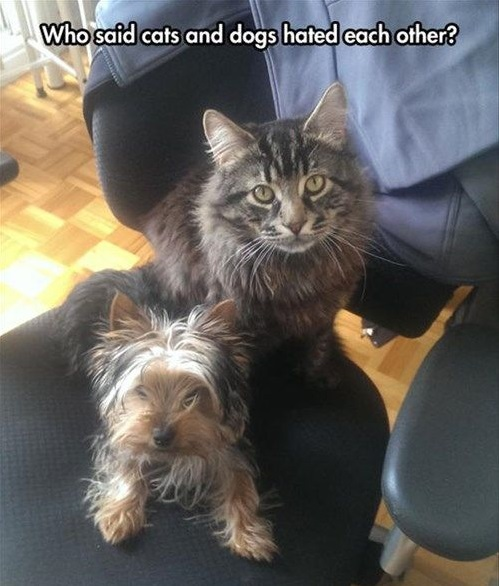 yorkie and cats 2
