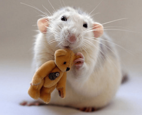 rats and teddy 14