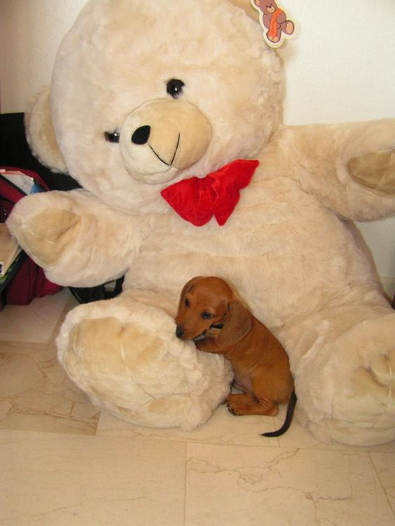 dachshund with teddy