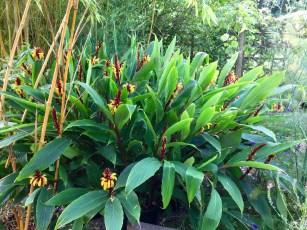 Cautelya spicata in flower