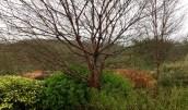 Prunus serrula winter garden