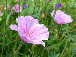 Geranium sanguineum vIsion light pink