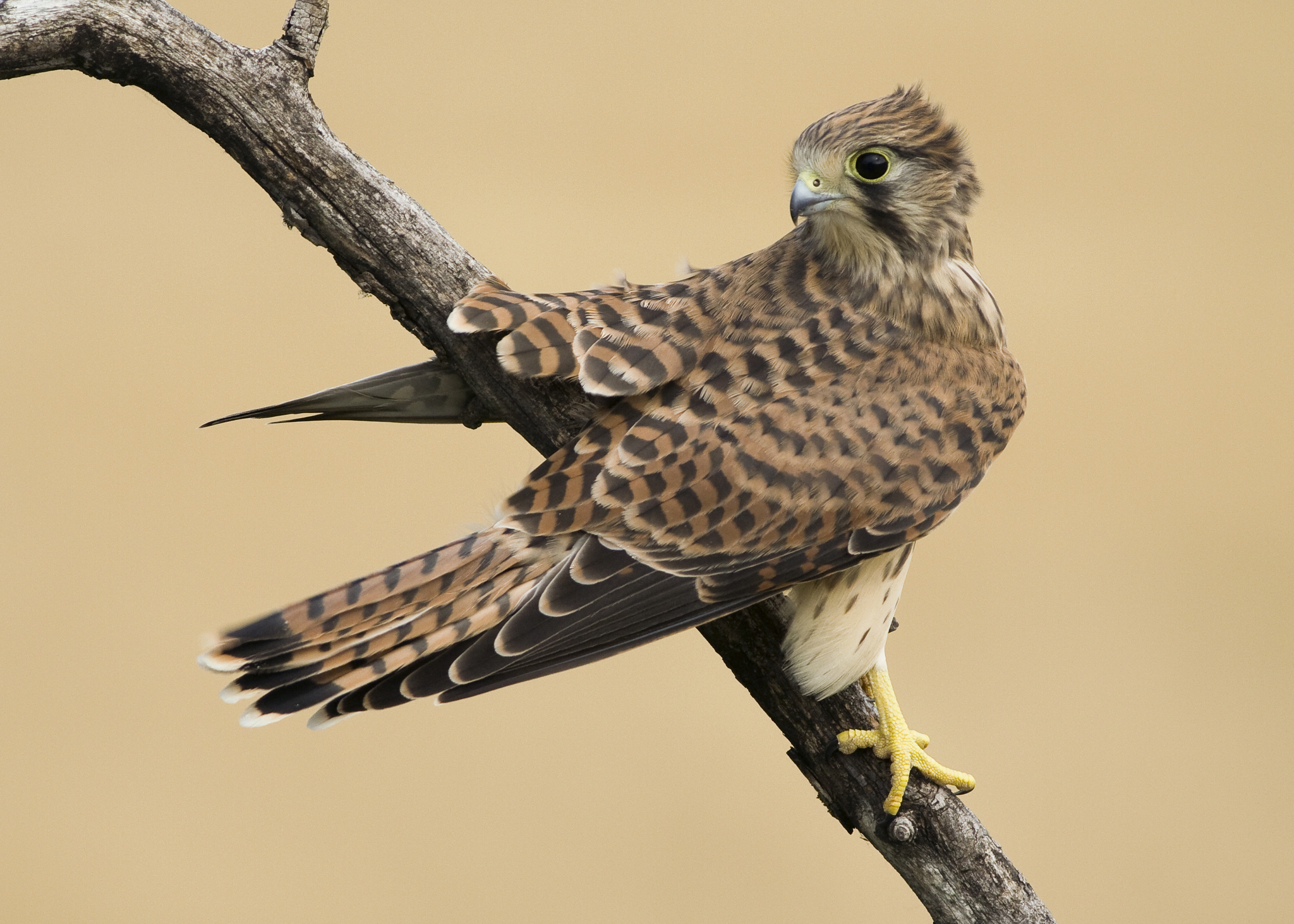 Sparrow Hawk (Kestrel)