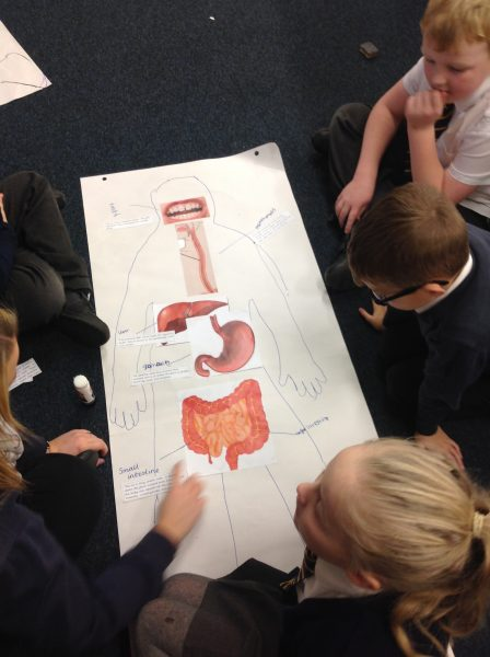 Digestive System – Functions of the Organs