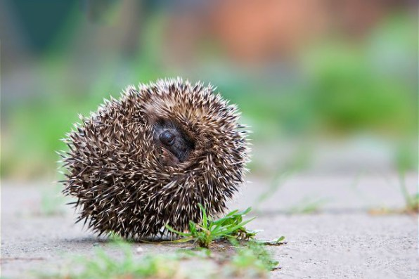 Photo from ARKive of the Hedgehog (Erinaceus europaeus) - http://www.arkive.org/hedgehog/erinaceus-europaeus/image-A23077.html