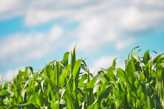 Maize growing with blue sky