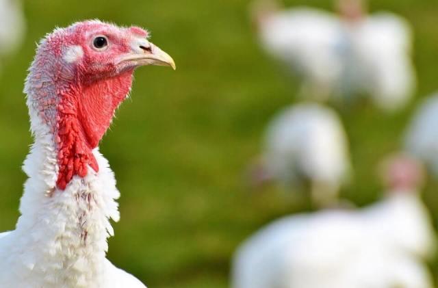 Turkeys in a grass area