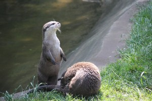 Otters on Dartmoor. Disliked by Mr Bond Photo Paul & Kelly. Flickr