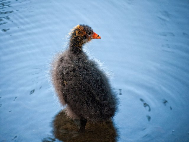 A moorhen chick checking something interesting out