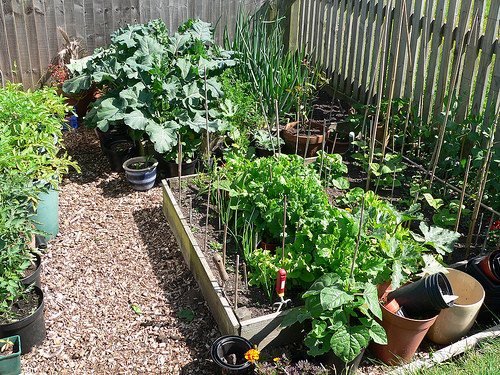 image of veg in garden