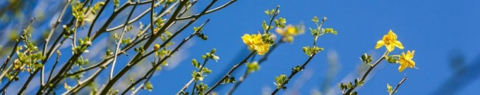 Flower of the Palo Verde.
