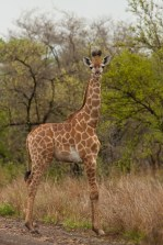 Baby Giraffe in Kruger National Park, South Africa