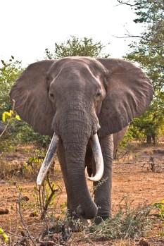 Big Tusker Elephant in The Kruger National Park, South Africa