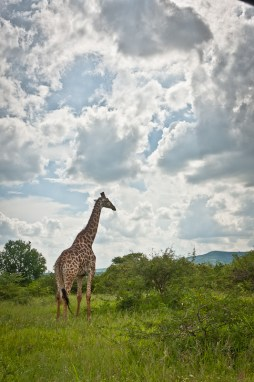 A Giraffe Under a typical African sky in Hluhluwe iMfolozi National Park, South Africa