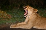 A Lioness yawns before going out to hunt in Kruger National Park, South Africa