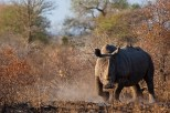 A Rhino Threatens to Charge