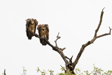 Two Vultures perched on a dead tree