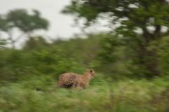 A Cheetah Chasing it's prey at full speed