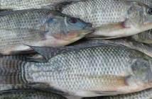 তেলাপিয়া মাছ