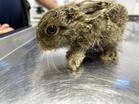 Yaralı yavru tavşan tedavi edildi
