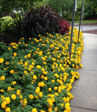 yellow marigolds in front of Princess grass