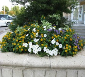 w yellow lantana, white petunias and blue scaevola