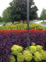 alt chartreuse, purple setcresea, red begonias, lantana new gold, purple fountain grass