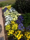 pansies, violas, kale redbor, parsley