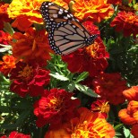 Monarch on the move