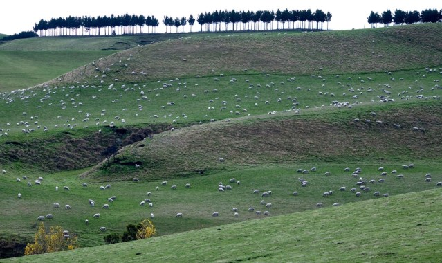 7:1 sheep to people ratio in New Zealand