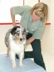 dog_chiropractic_adjustment-225×300